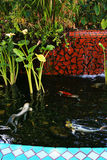 Koi fish swimming in a man made pond. With water plants Royalty Free Stock Image