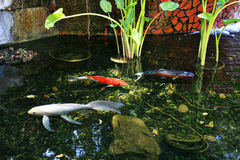 Koi fish swimming in a man made pond. With water plants Stock Photo