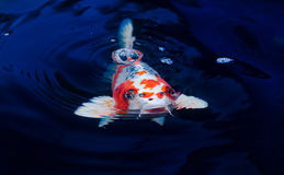 Koi fish. Swimming in the pond Royalty Free Stock Photo