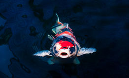 Koi fish. Swimming in the pond Stock Image