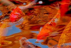 Koi fish swimming in the pond. S Royalty Free Stock Image