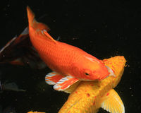 Koi fish swimming in the pond Stock Photo