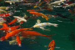 Koi Fish swimming Stock Images