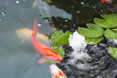 Koi fish swimming in the pond Stock Photography