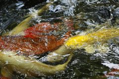 Koi fish swimming in a pond. Frenzy of colorful Koi fish swimming in a pond for decoration and to admire Stock Photo