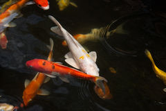 Koi fish swimming in the pond Royalty Free Stock Images