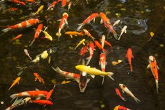 Koi fish swimming in water garden, fancy carp fish. Koi fish swimming in water garden, fancy carp fish royalty free stock image