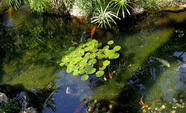 Koi Swimming in Waterlily Pond. Koi fish swimming in waterlily pond at the Center for Spiritual Enlightenment in Encinitas California Stock Images
