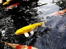 Koi Fish-Symbole des guten Glücks stockbilder