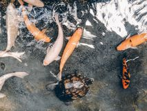 Koi Fish And Turtle stock images