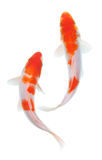 Koi fish. Two koi fishes on white background royalty free stock photo