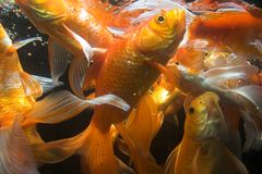 Koi fish underwater Stock Photo