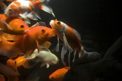 Koi fish underwater Royalty Free Stock Images