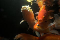 Koi fish underwater stock photos
