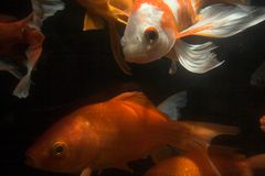 Koi fish underwater Royalty Free Stock Photography