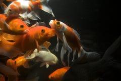Koi fish underwater stock photography