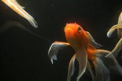 Koi fish underwater stock images