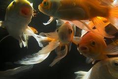 Koi fish underwater royalty free stock images