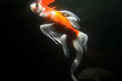 Koi fish underwater Royalty Free Stock Photos