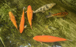 Koi fish Stock Images