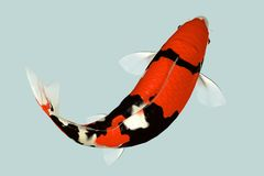 Koi Fish. In Water - the colours are incredible Royalty Free Stock Photography