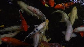 Koi fish in water stock footage