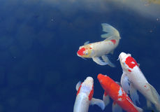 Koi fish. In the water pond stock photo