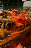 Koi fish in a zen pond for outdoor setting Royalty Free Stock Photography