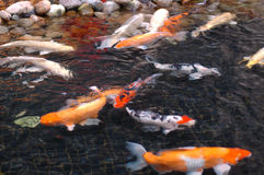 Koi fish2 Stock Photography
