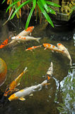 Koi fishes Royalty Free Stock Photo