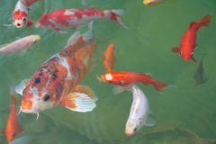 Koi fishes. Japanese Koi fishes close to surface before feeding stock image