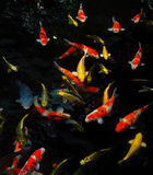 Koi Fishes Stockfotos