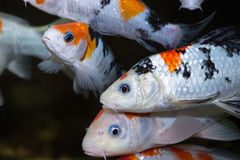 Koi fishes in an aquarium Royalty Free Stock Images