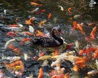 Koi fishes and a black swan swimming. Koi  japanese fishes and a black swan swimming Stock Photos