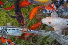 Koi fishes Royalty Free Stock Image