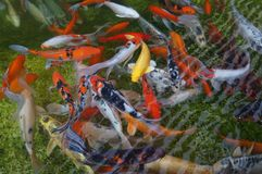 Koi fishes Stock Photography