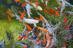 Koi fishes Royalty Free Stock Photography