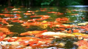 Koi fishes feeding in a pond. Close up. Blurred stock video