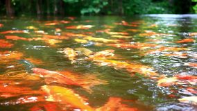 Koi fishes feeding in a pond. Close up. Blurred stock footage