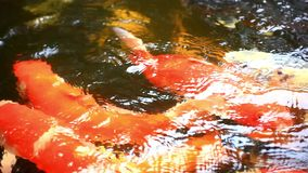 Koi fishes feeding in a pond. Close up. HD stock footage
