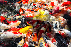 Koi fishes Stock Images