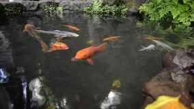 Japanese pond fishes stock video footage