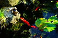 Koi Fishes i ett modernt fiskdamm royaltyfria bilder