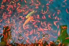 Koi fishes in the lake Stock Images