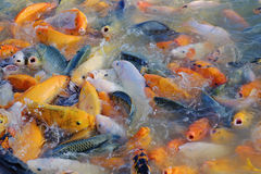 Koi Fishes. A lot of Koi fishes in a pond Royalty Free Stock Photography