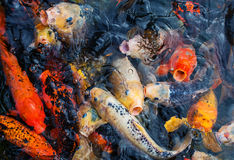 Koi fishes. Stock Images