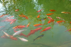 Koi fishes in pond. Koi pond with fishes close to surface before feeding royalty free stock image