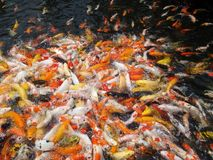 Koi fishes Stock Photos