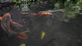 Koi fishes in pond stock video