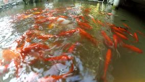 Koi fishes in a pond stock footage
